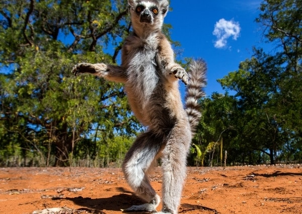 lémurien emblème de Madagascar
